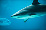 Caribbean Reef Shark in Deep Sea marine life aquarium poster