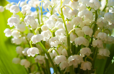 Many fragile twigs of beautiful lily-of-the-valley flowers