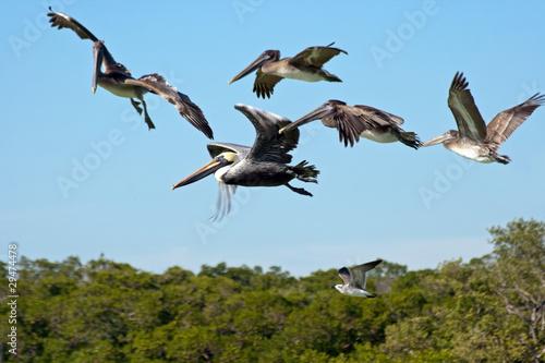Fliegende Pelikane