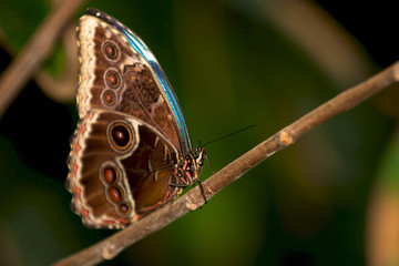 Blue Morpho butterfly with its wings closed