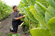 Farmer looks at tobacco leaves in a field