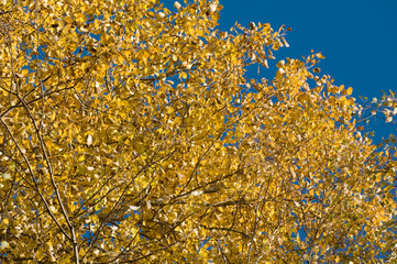 Autumn crone of a birch