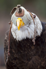 Bald eagle with eyes covered