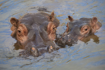 hippo mother and child being lazy in the water