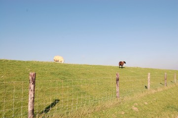 Sheep on the dike Texel