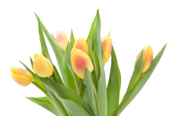 yellow and red variegated tulips flowers; isolated