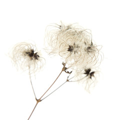 dry seedhead of Clematis vitalba (wild clematis)