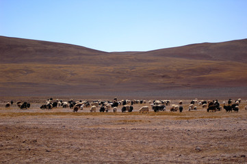 Sheep and yaks