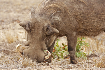Rooting Warthog