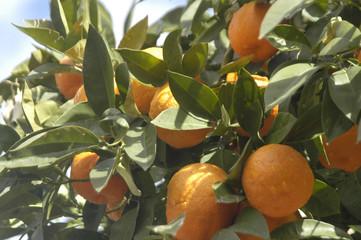 Naranjas en el naranjo 89