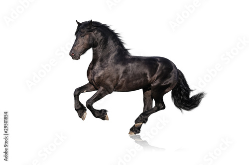 black horse isolated on white