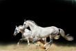 white stallions isolated