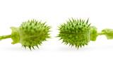 Two jimson weed thorny seedpod poster