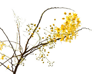 Branch of blossom from the golden shower tree isolated