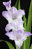 Fototapety violet gladiolus