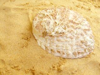 Abalone - Muschel
