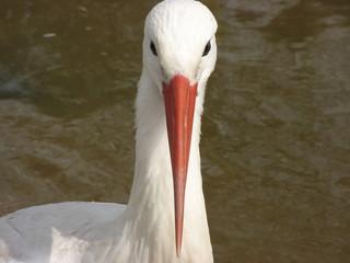 European White Stork (Ciconia ciconia) face on