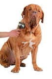 Glad Big Dog Being Groomed isolated on white background poster