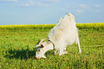 Goat grazing on a meadow