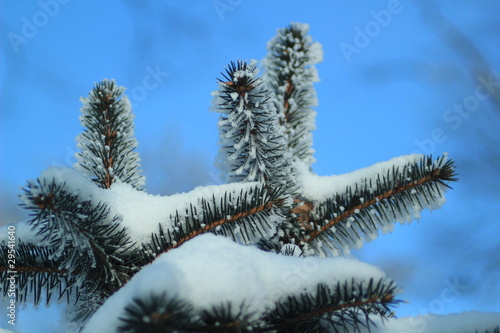 a snow-covered fir branches against the clear sky