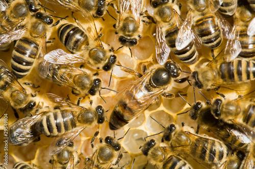 Foto op Canvas Bee Bienenvolk