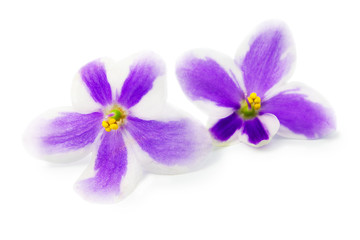 Flowers of violet on white background