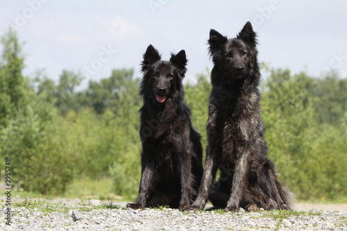 two beautiful duch shepherd dog