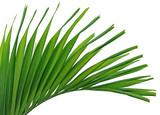 feuille du palmier royal nain