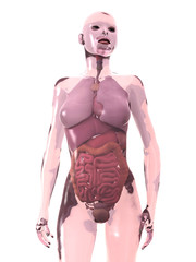 internal human organs, woman