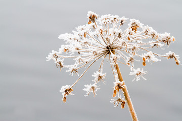 umbel in snow