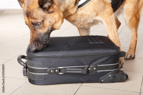 Papiers peints Chien Sniffing dog chceking luggage
