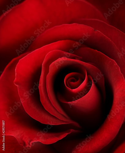 Red Rose Close-up. Selective focus