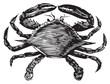 Blue Crab engraving (callinectes hastatus) - 29571446