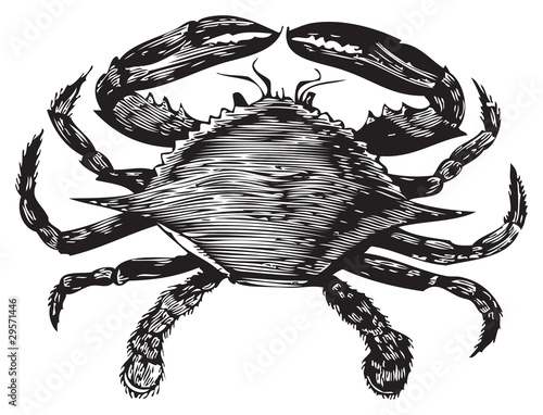Blue Crab engraving (callinectes hastatus) - 29571446