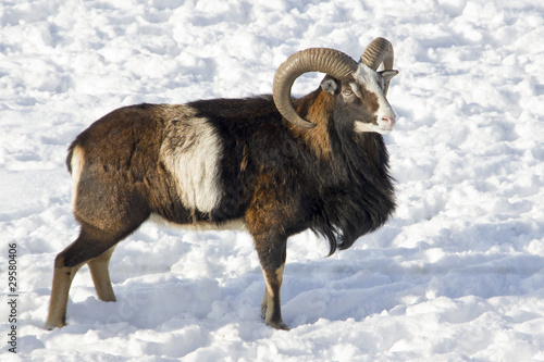 mouflon winter