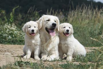 maman golden retriever et ses deux chiots