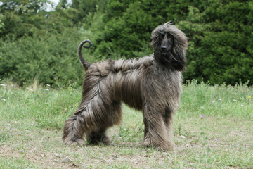 beautiful afghan hound on profile