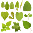 Collection green tree leaves, high resolution isolated