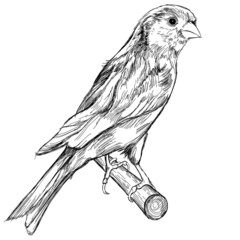 black and white sketch of a canary bird sitting on a branch