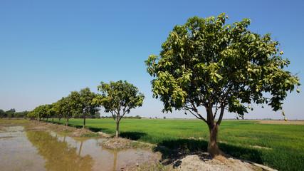 Mango trees in Cambodia