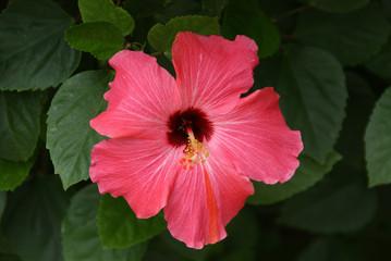 Blüte des Hibiskus