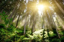 Mystic Forrest mgłą wschodzącego i promieni słonecznych