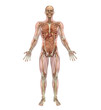 Male Skeleton and Internal Organs with Muscles - 3D render