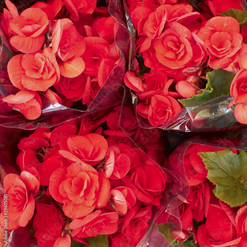 red begonias bouquets closeup, flower background