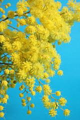 mimosa - festa della donna