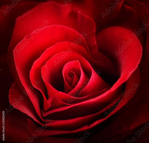 Valentine Red Rose. Heart shaped © Subbotina Anna