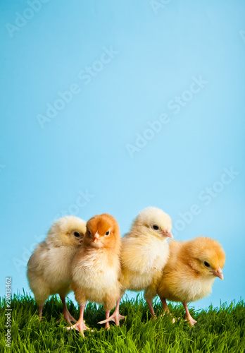 Foto op Canvas Kip Easter eggs and chickens on green grass on blue background