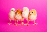 Easter chickens on pink background