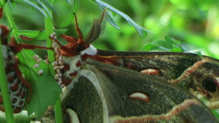 Cecropia Moths Mating 02