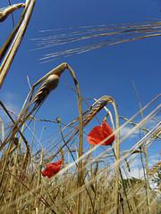 Campo di grano e papaveri